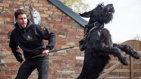 Training Giant Schnauzers - The $37,000 Guard Dogs I Big Dogz