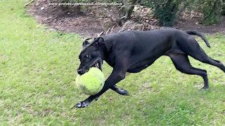 Great Dane runs zoomies around jumbo tennis ball