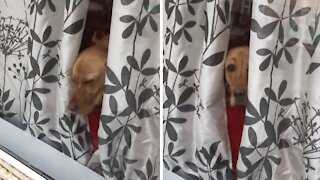 Pup falls asleep in window waiting for owner to come home