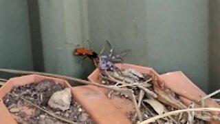 Wild Australia: Spider wasp takes on huntsman spider