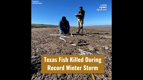Texas Fish Killed During Record Winter Storm