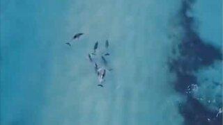 Droneoptagelse af delfiner der surfer i Australien