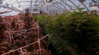 Kern County marijuana growth project, impact