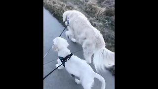 Puppy grabs bigger dog's leash, takes him for walk