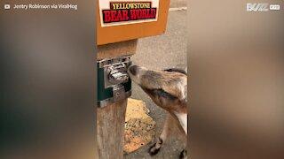 Cabra usa mecanismo de moeda para comer guloseimas!