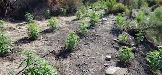 Rangers find marijuana grow in Death Valley National Park