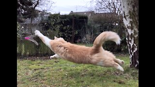 Cat running in slow motion [fluffy maine coon playing hunting]