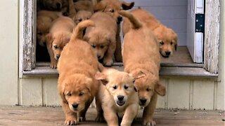 """Adorable """"river"""" of Golden Retriever puppies flow into the backyard"""