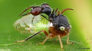 Ant-mimicking treehopper from Ecuador