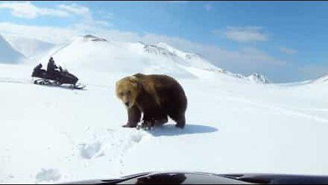 Miesten ja karhun kohtaaminen on päättyä traagisesti