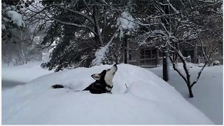 Husky totally enchanted during epic Boston blizzard