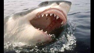 Great white shark makes impressive leap