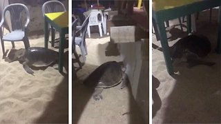 What the shell: Turtle tries to lay eggs in restaurant