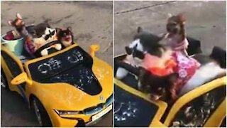 Il gatto e gli amici fanno un giro in auto
