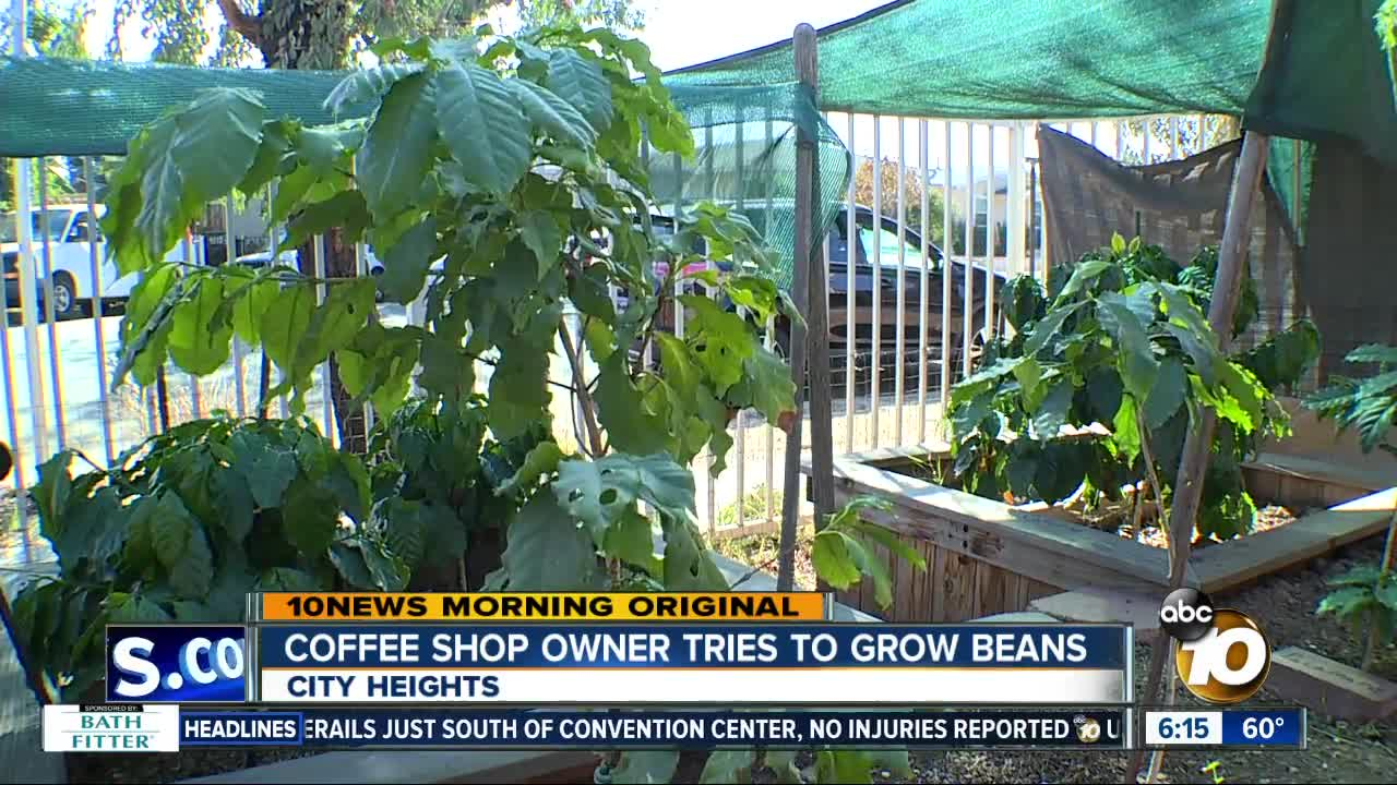Coffee shop owner tries growing coffee beans in garden