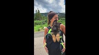 German Shepherd puppy goes on first hiking trip