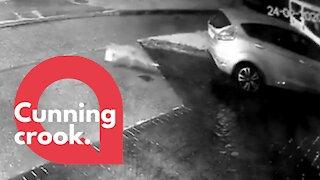 A cheeky fox has been caught on CCTV stealing milk