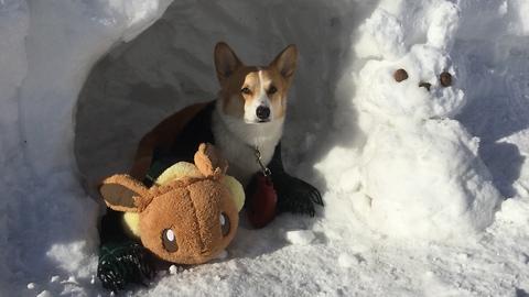 Corgi Dog Meets Snow Bunny! Funny reaction