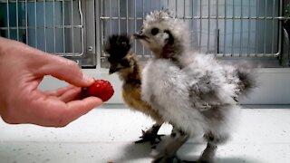 Bizarre & beautiful chicks visit veterinarian for a checkup