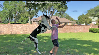 Happy Harlequin Great Dane Loves To Leap