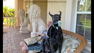 Happy Great Dane Gets Comfy Sitting With Her Dad and Her Toy