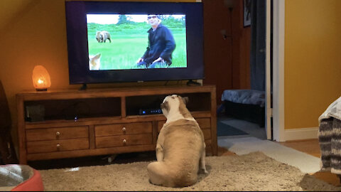 These Bulldogs are fascinated by this documentary