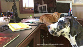 Great Dane puppy begs cats or dog to play with him