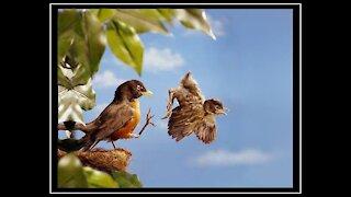 First Flight - a Baby Bird's Story!