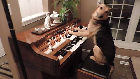 Dog Hits The Piano Keys And Performs An Awesome Trick