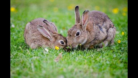 Rabbits Animals Eating Kennel Fur Gray