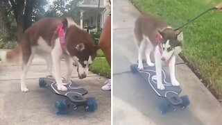 Only way this husky goes for a walk is on a skateboard
