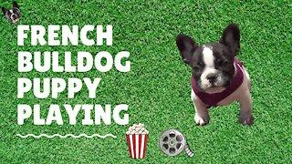 French Bulldog loves to play
