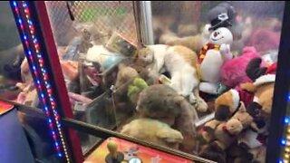Gato dorme dentro de máquina de garra