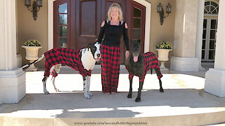 Great Danes wear pajamas for Christmas card photo