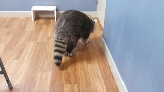 What sound does a pet raccoon make when it's hungry?