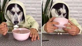 Hungry husky chomps down on tasty ice cream treat