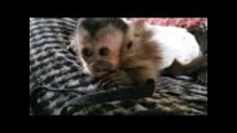 Adorable baby monkey has the hiccups