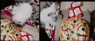 I Don't Like Pizza-eeeee Kitten Reaction