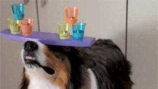 Conheça Rush: o cachorro equilibrista!