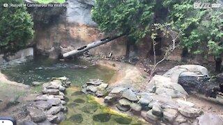 La lontra campionessa di tuffo acrobatico