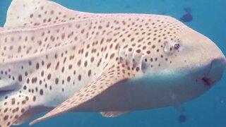 Stunning underwater photography of the beautiful zebra shark