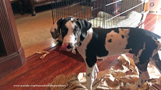 Great Dane puppy is a paper shredding machine