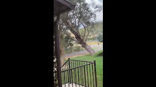 Strong winds in Utah topple over enormous tree