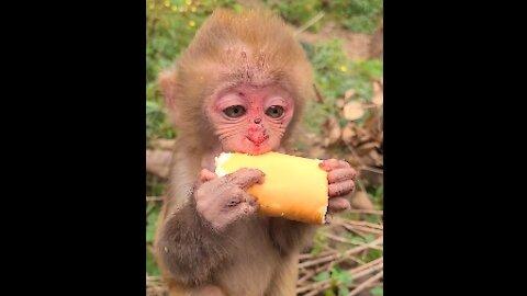 Lovely little monkey eat bread, poor little monkey, he is hurt