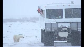 Travels to Churchill, Manitoba to see polar bear