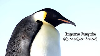 Emperor Penguin Facts   Cute Animal Education