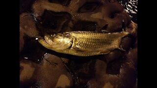 Baby Tarpon Night Fishing Indian River