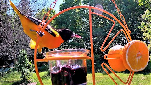 Oriole with stunning colors loves grape jelly & orange treats