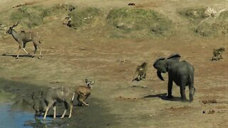 Bossy Elephant Chases Animals Away From Water With Loud Screams