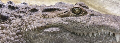 Ferocious alligator